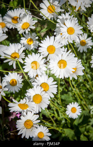 Flowering marguerites in meadow, close-up - Stock Photo