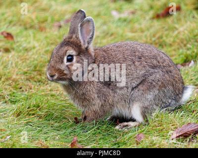 Domestic rabbit, Oryctolagus cuniculus forma domestica, rabbit - Stock Photo