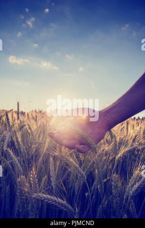 Retro image with a faded sun flare effect of a hand cupping the wheat over a field of ripening ears of wheat on a hot summer day under a clear blue sk - Stock Photo