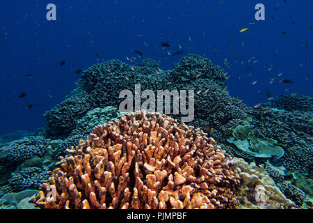 Diving on the reef of Millennium atoll in Kiribati showing the dead coral from coral bleaching due to climate change. - Stock Photo