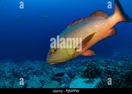 A curious red snapper or red bass approaches divers on the reef at Millennium Atoll, also known as Caroline Island in Kiribati, South Pacific - Stock Photo