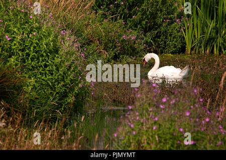 Swan on Hurworth Burn reservoir, Bright water project, County Durham, England UK - Stock Photo