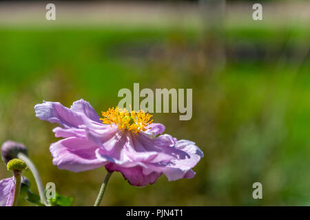 A single flower of Anemone hupehensis Bowles pink - Stock Photo
