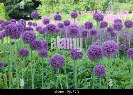 Allium Globemaster flowers year after year in spring on tall bare stems from bulbs, with large round flower heads of many small violet-purple florets. - Stock Photo