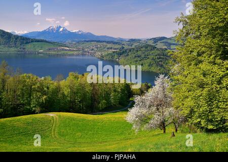 View of Lake Zug and Mount Pilatus, cherry blossoms in front of it, Walchwil, Canton Zug, Switzerland - Stock Photo