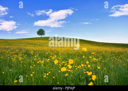Solitary tree, linden tree (Tilia), on hill, in front of flowering field of buttercup (Ranunculus sp.), Neuheim, Canton of Zug - Stock Photo
