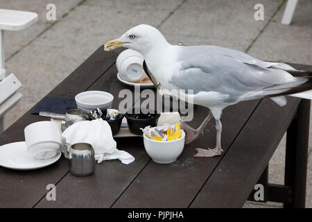 Impudent seagull scavenging food from a table at a hotel restaurant In Brighton, East Sussex, England, UK in early autumn - Stock Photo