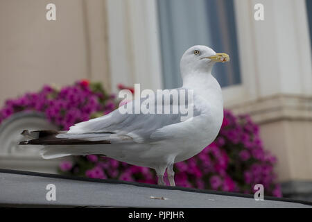 Seagull scavenger with mayonnaise on its beak on a seafront hotelIn Brighton, East Sussex, England, UK in autumn - Stock Photo