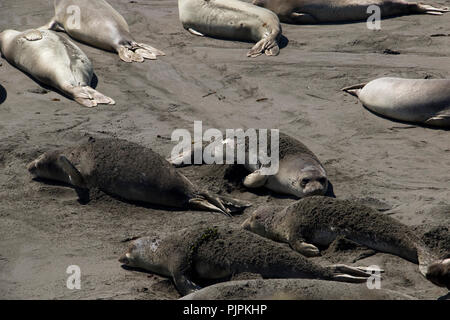 Sea Lions  taking a sand bath on the beach in California. - Stock Photo