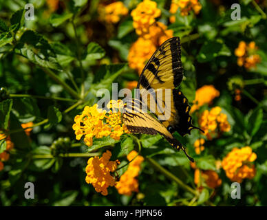 An Eastern Tiger Swallowtail butterfly sitting on a bright beautiful yellow flower. - Stock Photo