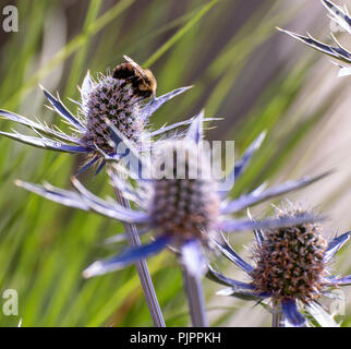 a bee is on a flower collecting honey. - Stock Photo