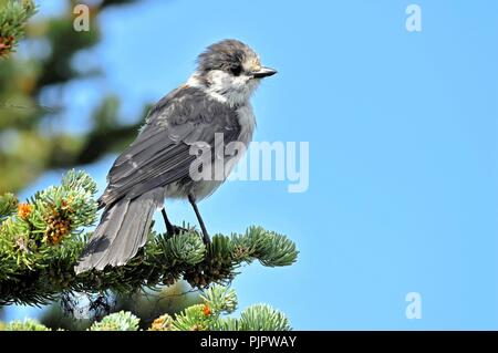Whisky Jack perched on a fir tree in Whistler mountains. - Stock Photo