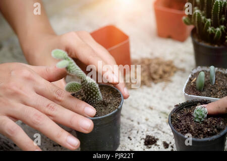 Cropped shot agriculture propagate and reproducing baby cactus on pot. - Stock Photo