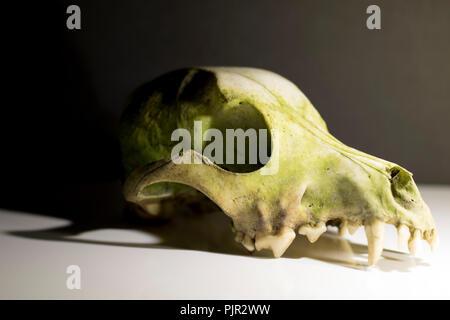 Dog skull close up. Eerie Animal bones. Close up dog skull anatomy. - Stock Photo