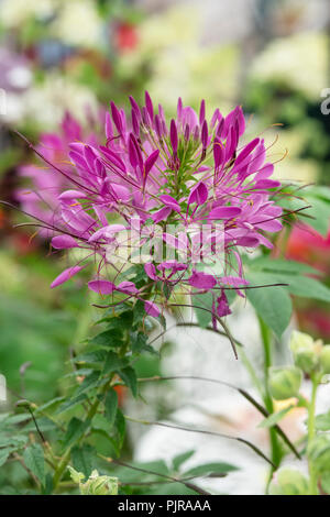 Cleome spinosa 'Violet queen'. Spider flower in an english garden - Stock Photo