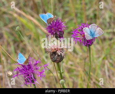 Two adonis blue butterfly males and a chalkhill blue male at a Butterfly Conservation reserve on Jurassic limestone in Gloucestershire UK - Stock Photo