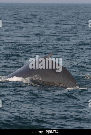 A humpback whale surfaces in Massachusetts Bay off the coast of Newburyport, Mass., USA, on a late summer afternoon. - Stock Photo