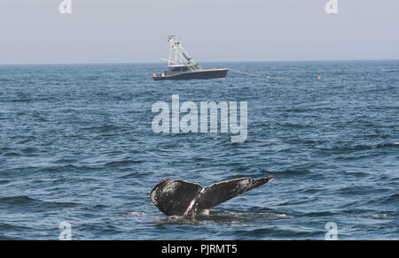 A humpback whale flips its tail above the surface in Massachusetts Bay, with a fishing boat in the background. - Stock Photo
