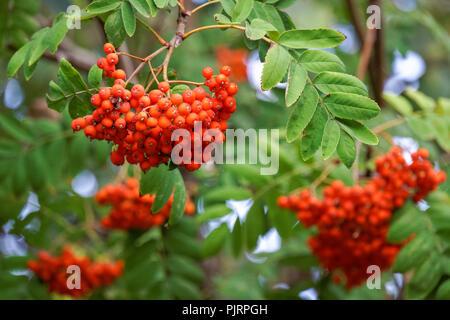 Red ripe fruits of European rowan fruits - Stock Photo