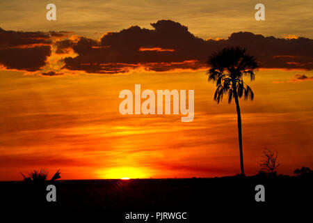 A spectacular dry season sunset silhouettes real fan palm trees that line the fringes of the Katisunga floodplains. - Stock Photo