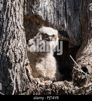 Young Great Horned Owl ( Bubo virginianus) sitting in hollow of tree in Pennsylvania park waiting for mother owl to return to nest. - Stock Photo