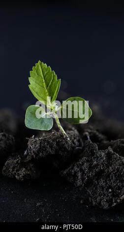 Broad leaf weed 3 leaf stage close up - Stock Photo