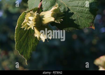 Common Hazel tree plant. Branch with hazelnuts in Tuscany, Italy - Stock Photo