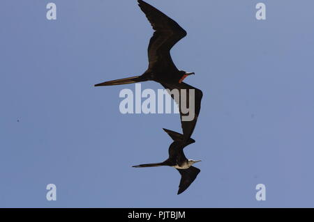 A pair of magnificent Frigate birds in flight over the beautiful Galapagos Islands, Ecuador - Stock Photo