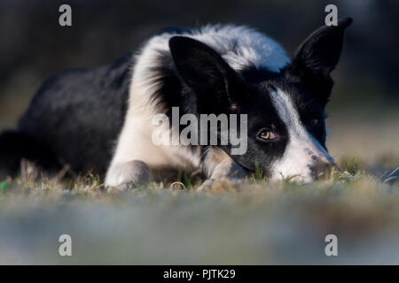 Border Collie sheep dog laid down in field watching sheep intently. Yorkshire, UK. - Stock Photo