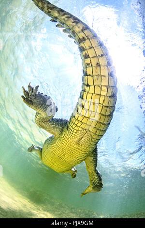 American saltwater crocodile, underbelly. Chinchorro Banks, Mexico - Stock Photo