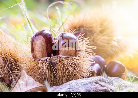 Chestnuts in a chestnut bur fallen to the ground with blurred background at sunset. European species sweet chestnut (Castanea sativa) - Stock Photo