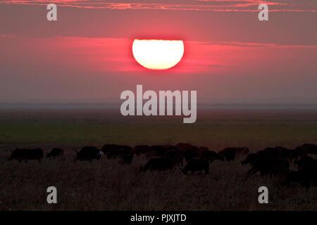 A herd of buffalo graze peacefully as the sun sets behind the Ufipa Escarpment in Katavi national park. - Stock Photo