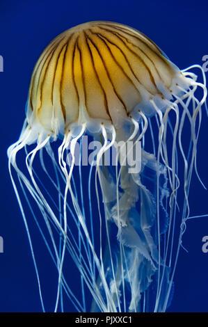 South American sea nettle jellyfish at the Georgia Aquarium in Atlanta, Georgia. (USA)