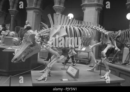 The photograph was taken of the skeleton of a dinosaur at the Natural History Museum in Oxford, United Kingdom in March 2017. - Stock Photo