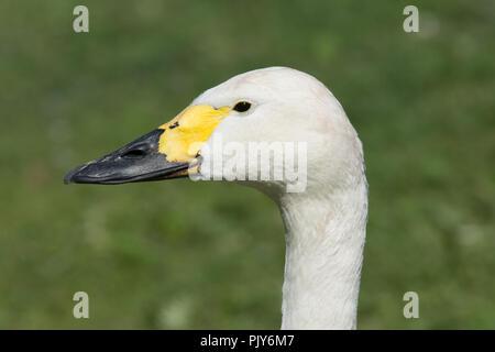 Bewick's swan (Cygnus columbianus bewickii) - Stock Photo