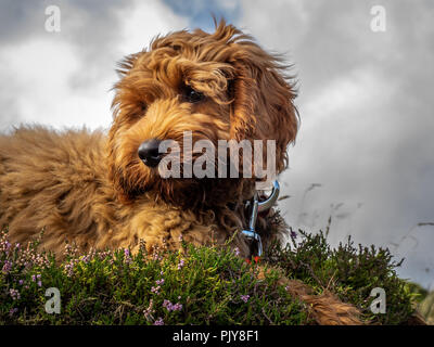 A young red Cockapoo puppy enjoying being on the open hillside in Scotland amongst the heather - Stock Photo