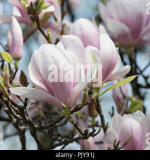 Macro Of The Pink And Purple Blossoms Of The Pink Magnolia Tree - Stock Photo
