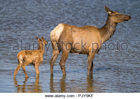 Elk Mother & Calf in Yellowstone River at Hayden Valley, Yellowstone National Park, Wyoming - Stock Photo