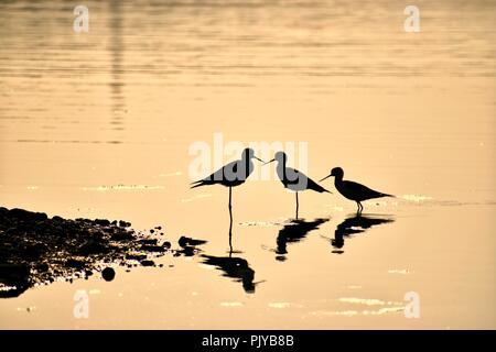 Black Winged Stilt Silhouette / Bird Silhouette - Stock Photo