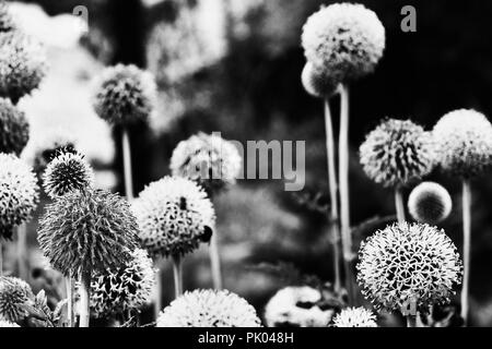 A bright echinops flowers in black and white photography ( russian globe thistle or globethistle ), spherical flowers with  florets ,high contrast , h - Stock Photo