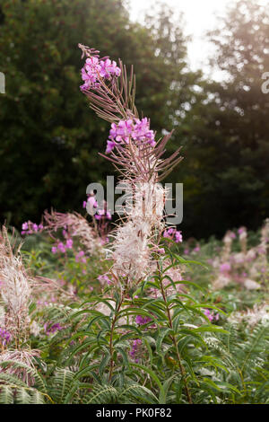 Rosebay Willowherb - Stock Photo