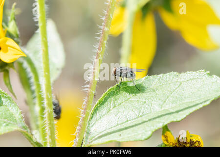 Macro of a Tachinid Fly Perched on a Green Leaf on Wildflowers in Eastern Colorado - Stock Photo