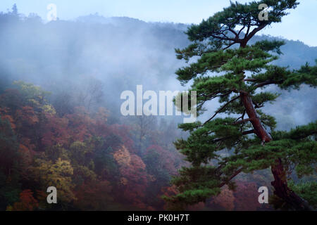 Old Japanese Red Pine Tree With Twisted Branches Stock Photo