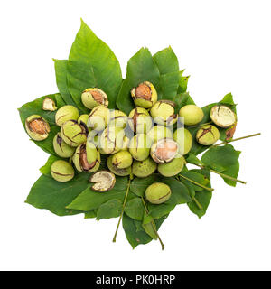 Group of green walnuts scattered on a leaf, on a white background with shadows, top view, composition - Stock Photo