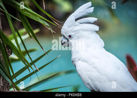 White umbrella cockatoo displaying crest feathers at St. Augustine Alligator Farm Zoological Park in St. Augustine, Florida. (USA) - Stock Photo
