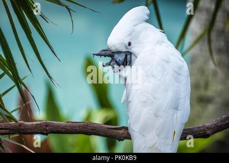 White umbrella cockatoo at St. Augustine Alligator Farm Zoological Park in St. Augustine, Florida. (USA) - Stock Photo