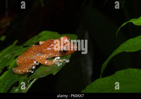 A Cinnamon Frog (Nyctixalus pictus) hunkered down in vegetation in Gunung Mulu National Park, Sarawak, East Malaysia, Borneo - Stock Photo