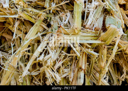 Sugarcane Bagasse. Close up of bagasse is the fibrous material left over from the sugarcane extraction process of sugar factory industrial. - backgrou - Stock Photo