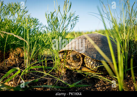 European swamp turtle in green grass in summer day in nature. Pond Turtle - Stock Photo