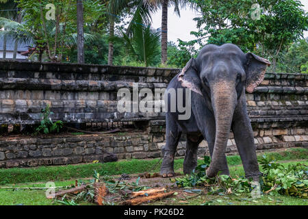 Elephant chained in front of the Temple of the Sacred Tooth Relic, Kandy, Sri Lanka - Stock Photo